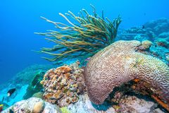 Free Underwater Coral Reef In Caribbean Royalty Free Stock Photos - 141651428