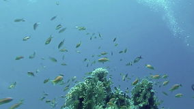 Underwater coral reef  landscape with colourful fish. Red Sea, Egypt stock video footage