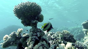 Underwater coral reef  landscape with colourful fish. Red Sea, Egypt stock footage