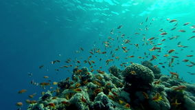 Underwater coral reef  landscape with colourful fish. Red Sea, Egypt stock video