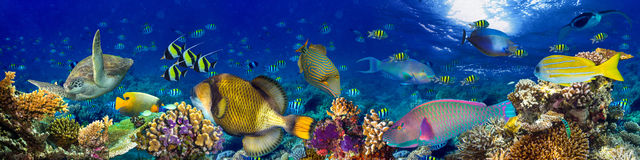 Underwater coral reef landscape panorama background. Underwater coral reef landscape wide panorama background in the deep blue ocean with colorful fish and stock image