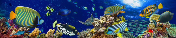 Underwater coral reef landscape panorama background. Underwater coral reef landscape wide panorama background  in the deep blue ocean with colorful fish and