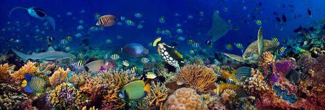 Free Underwater Coral Reef Landscape Wide 3to1 Panorama Background  In The Deep Blue Ocean With Colorful Fish Sea Turtle Marine Wild Stock Photos - 157141843