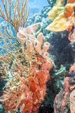 Underwater coral reef off the coast is the island of Bonaire royalty free stock photography