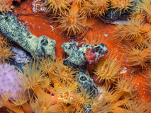 Underwater coral reef orange cup corals Stock Photos