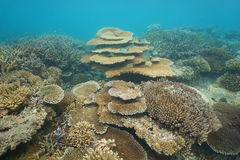 Underwater coral reef Pacific ocean New Caledonia. Underwater coral reef mostly Acropora corals in the lagoon of Grande Terre island, south Pacific ocean, New royalty free stock photos