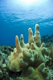 Underwater coral reef pillar coral Royalty Free Stock Photo