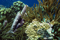 Underwater coral reef purple tube sponge Stock Photography