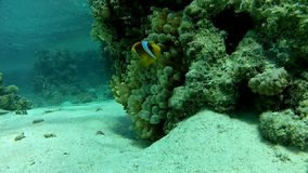 Underwater coral reef red sea. The corals and fish. Transparent and warm water. Underwater life tropical fish. Beautiful exotic fish stock footage