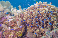 Underwater coral reef. Coral reef in Roatan Honduras with Lettuce Leaf coral and Blue Chromis fish Stock Images