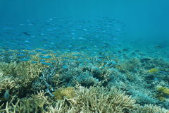 Underwater coral reef school of fish New Caledonia. Underwater coral reef with a school of fish Blue-green chromis, New Caledonia, south Pacific ocean stock images