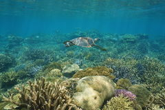 Underwater coral reef and sea turtle Pacific ocean Royalty Free Stock Image