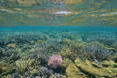 Underwater coral reef shallow water Pacific ocean Royalty Free Stock Photography