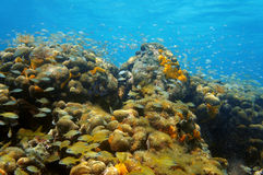Underwater coral reef with shoal of fish in Panama Stock Images