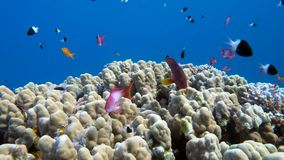Underwater coral reef with tropical fish in ocean. Underwater coral reef porites nodifera with tropical fish anthias in ocean stock video