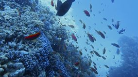 Underwater coral reef with tropical fish. Red sea resort concept, Egypt stock video footage