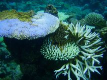 Underwater corals Royalty Free Stock Image