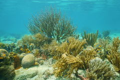 Underwater corals mostly Octocorals Caribbean sea Stock Photo