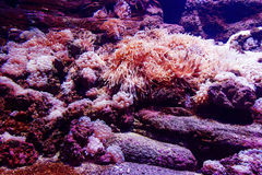 Underwater corals sea anemone wildlife abstract wallpaper. Closeup. Shallow focus. Royalty Free Stock Image