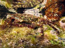 Underwater crab Royalty Free Stock Photography