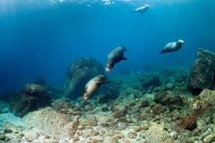 Underwater d'avvicinamento della famiglia del leone marino di Diver del fotografo Immagine Stock Libera da Diritti