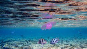 Underwater Date. Two sergeant fish and a jellyfish in the shallow reef royalty free stock image