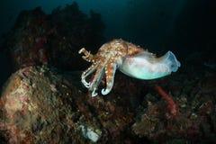Underwater della seppia del mare delle Andamane, Tailandia Fotografia Stock