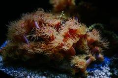 Underwater close up of sea anemones, Monaco Oceanographic Museum royalty free stock images