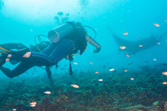 Underwater divers are watching mantas at a cleaning station, Mal Stock Photo