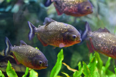 Underwater do close up de piranhas vermelhas Imagem de Stock Royalty Free