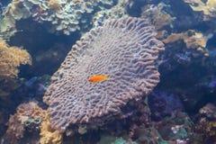 Underwater farbiger Actinia im Aquarium Lizenzfreie Stockfotos