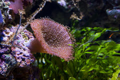 Underwater farbiger Actinia im Aquarium Stockfotografie