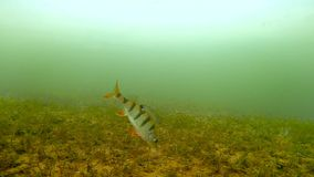 Underwater filming of fish. Shooting underwater freshwater fish perch stock video
