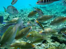Underwater fish. A school of fish underwater near a reef stock photography