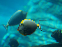 Underwater Fish. Coloured Tropical Fish in Underwater Environment Royalty Free Stock Photography