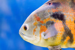Underwater fish Royalty Free Stock Photos