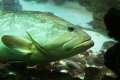 Underwater fish. Big underwater fish in aquarium Stock Images