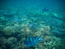 Underwater Fish. Viewing blue fish underwater on the Great Barrier Reef of Australia Stock Photography