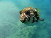 Underwater fish. A colorful fish underwater in the Red Sea Royalty Free Stock Photography