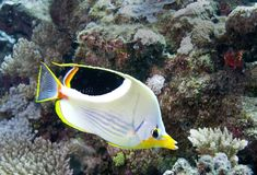 Underwater fish in Australia, this fish is very fruity but looks delicious Royalty Free Stock Image