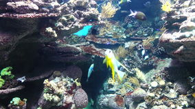 Underwater Fish And Coral. Underwater footage of fish swimming around, next to seaweed and algae stock video footage