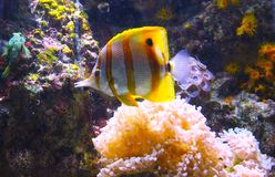 Underwater with Fish and Coral. This image from under the sea shows a beautiful gold and white fish nestled in with coral and other sea life. Colorful, peaceful stock image