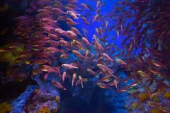 Underwater fish in the coral reef area royalty free stock image