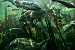 Underwater fish in a sea of kelp Stock Photo