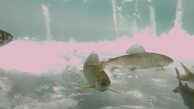 Underwater fishing in ice of Lake Baikal, Russia. Clean cold blue snow. Deep extreme diving. Very beautiful. Scenic spot wildlife stock footage