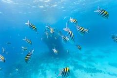 Underwater flock of fish Royalty Free Stock Photo