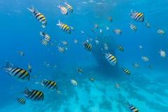 Underwater flock of fish Royalty Free Stock Image