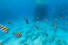 Underwater flock of fish Royalty Free Stock Photos