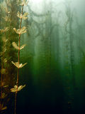 Underwater flora. Underwater Plants rivers, lakes, pond. Stock Photography