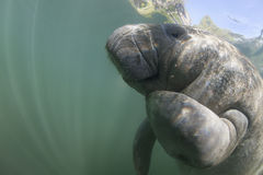 Underwater Florida Manatee Royalty Free Stock Photo
